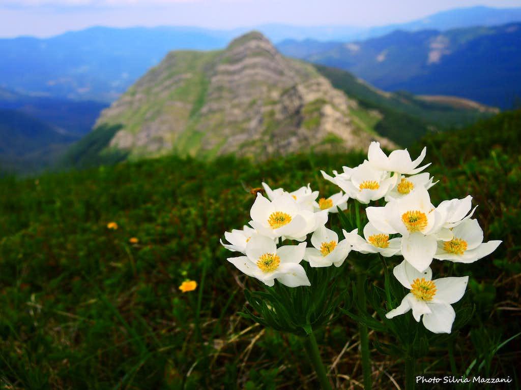 Pulsatilla Alpina (Anemone alpino), Roccabiasca on background