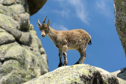 Iberian Ibex Lady