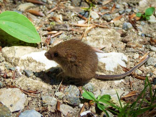 A young wood mouse