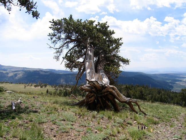 A Bristlecone Pine Tree at...