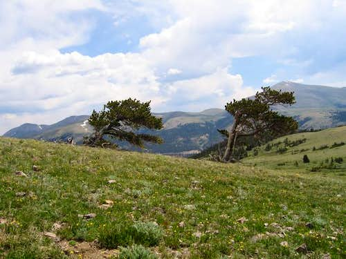 Bristlecone Pines on Windy...
