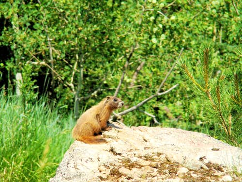 Sylvan Peak Marmot