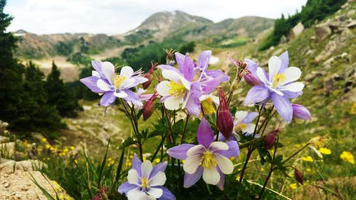 Columbine Flowers on Trail to Yale
