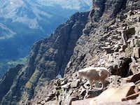 Mountain Goat on Pyramid Peak