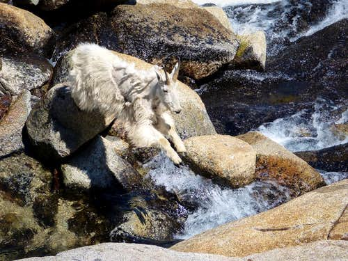 Leaping Goat