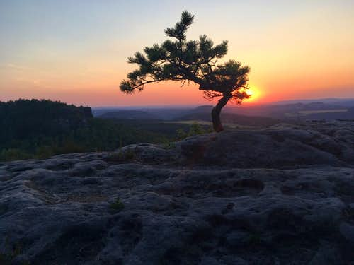 Brave little pine tree at sunset