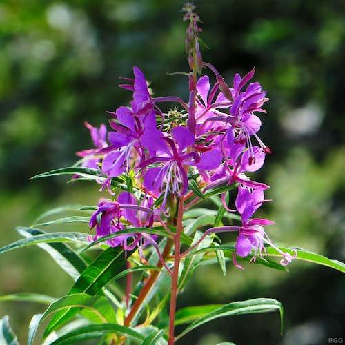 Rosebay Willowherb (<i>Chamaenerion angustifolium</i>)