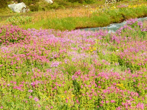 Lewis Monkey Flower, Brandywine Meadows