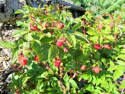 Raspberries on the slopes of Mount Marvine