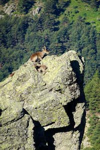 The perfect place to rest an ibex
