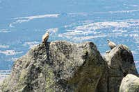 Two griffon vultures high on their perches