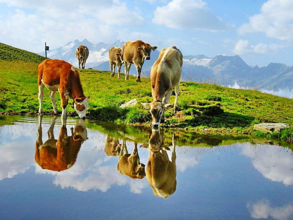 The cows are doing selfie