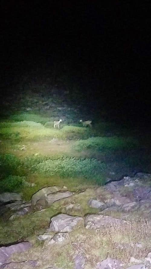 King's Peak deer