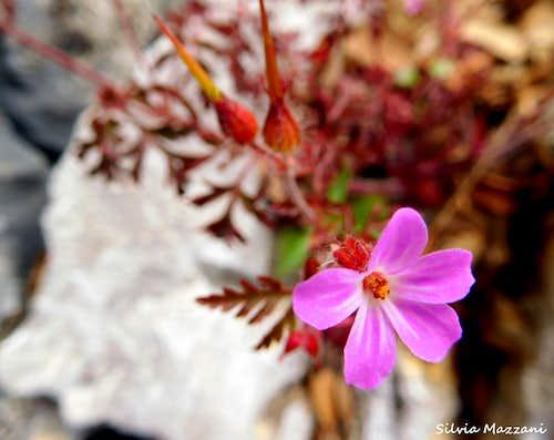 Herb Robert (Geranium Robertianum), Monte Pizzocolo