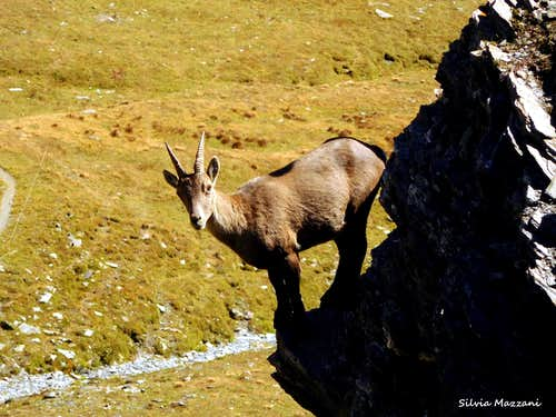 Close-up of a young ibex up the rocks in St. Veran valley