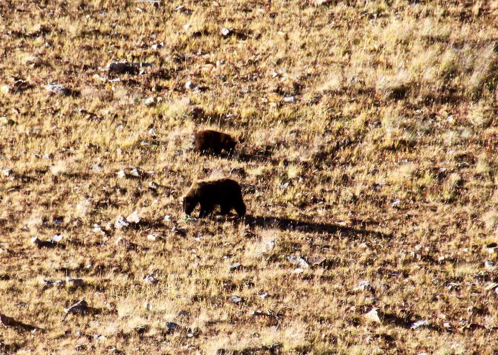 Bears in Cooper Creek basin