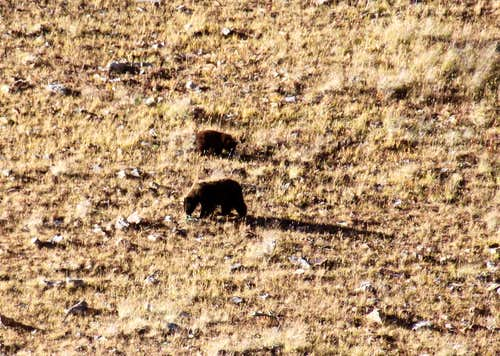 Bears in Cooper Creek basin