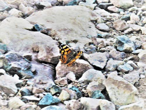 Butterfly at the summit