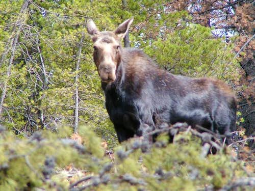 Moose spotted on the drive up...