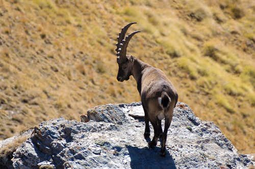 Male Ibex just beneath Zerbion's summit