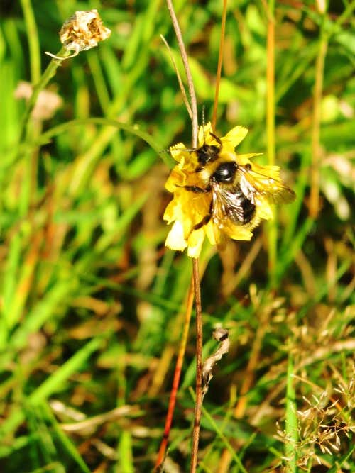 A bumblebee visiting a hawkweed flower in the Karkonosze mountains