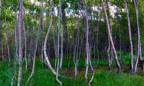 Birch Forest Glen Affric