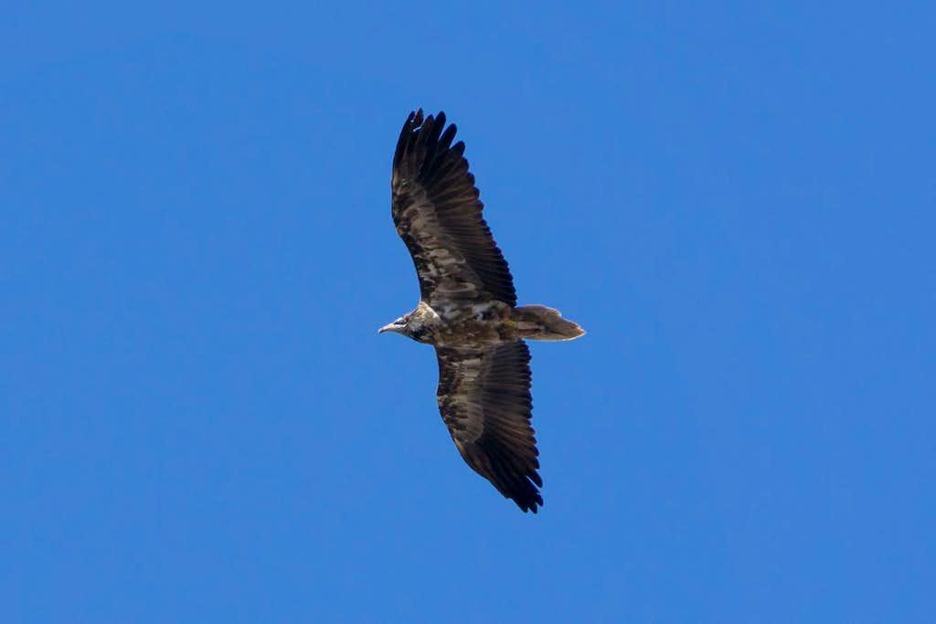 Juvenile Egyptian Vulture