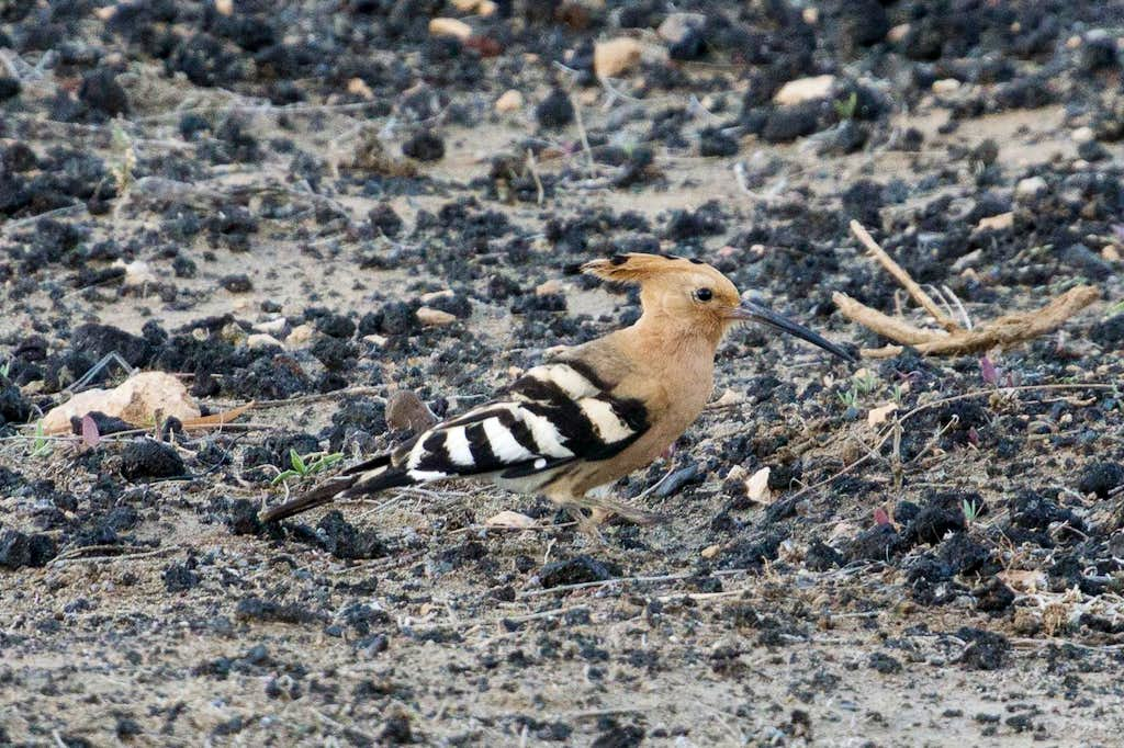 hoopoe  in La Pared