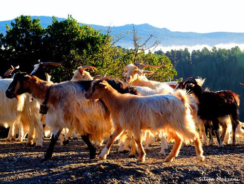 Herds of goats on the banks of Lago Alto di Flumendosa