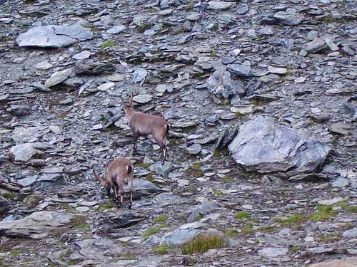 We saw several Ibex or...