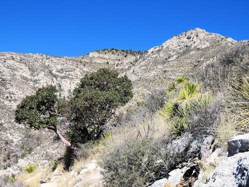 Texas Madrone Tree