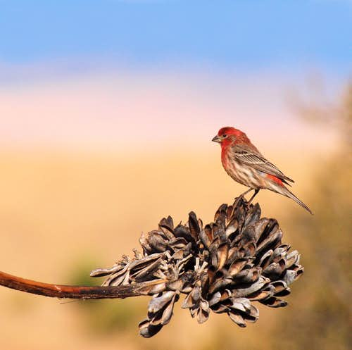 Finch on Century Plant