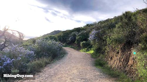 Flowers in Bloom On Mt Woodson Trail