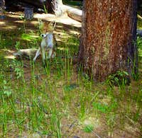 Animals of the Gran Paradiso National Park:<br> a young fox at the Erfaulet bridge, Valnontey