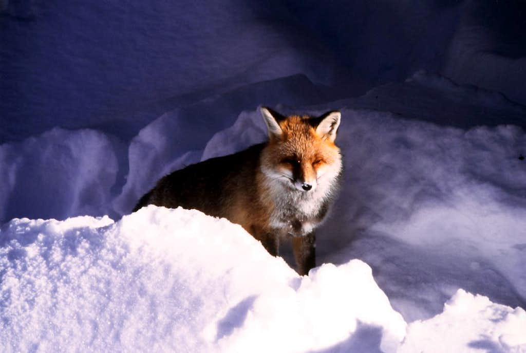 Animals of the Gran Paradiso National Park: fox in Valnontey