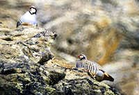 Animals of the Gran Paradiso National Park: <br>Coturnici (Alectoris graeca) in Valeille