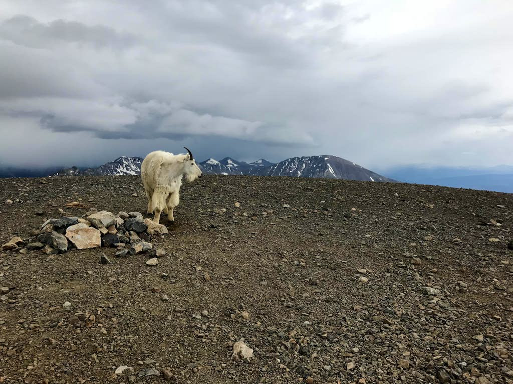 Mountain Goat on Mount Cameron