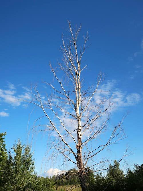 Dead birch tree near Gaiziņkalns