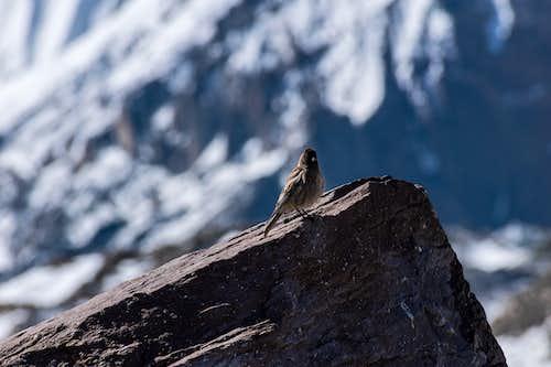 Karakoram bird - photographed in Concordia at 4600m
