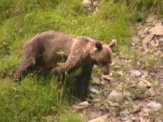 Young brown bear with telemetric collar