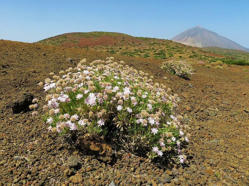 Desert flowers and Pico Teide