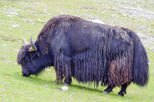 Yak grazing in Solda valley
