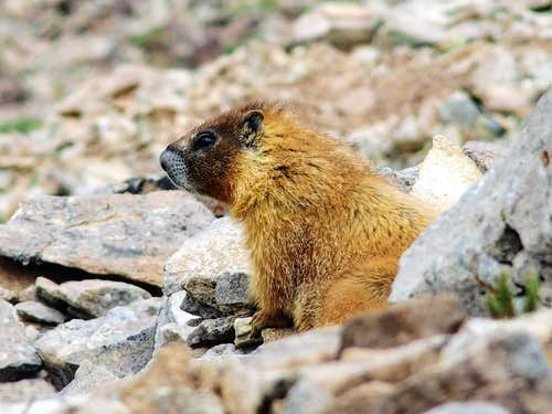 Mt. Peale's resident marmot