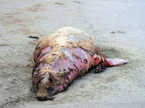 Dead Seal on Hidden Beach