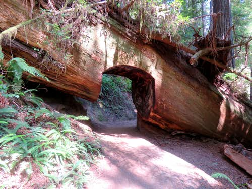 Tunnel through fallen tree