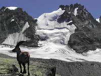 Vallone di Montandayné: steinbock (Capra ibex) in front of the Gran Paradiso range
