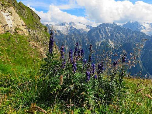 Some flowers above Val Bregaglia