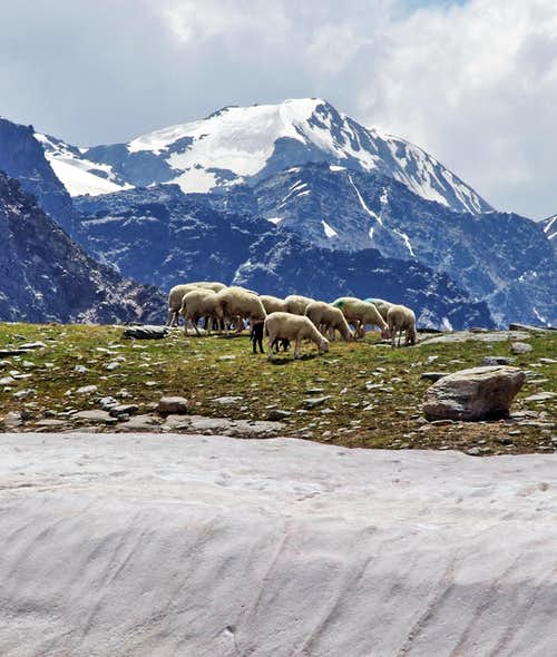 Flock of sheep grazing in Zai Valley/Zaytal
