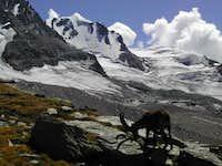 Steinbock (Capra ibex) in front of Gran Paradiso
