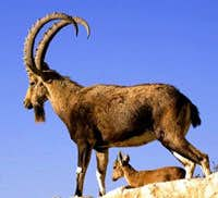 An Ibex in Chitral